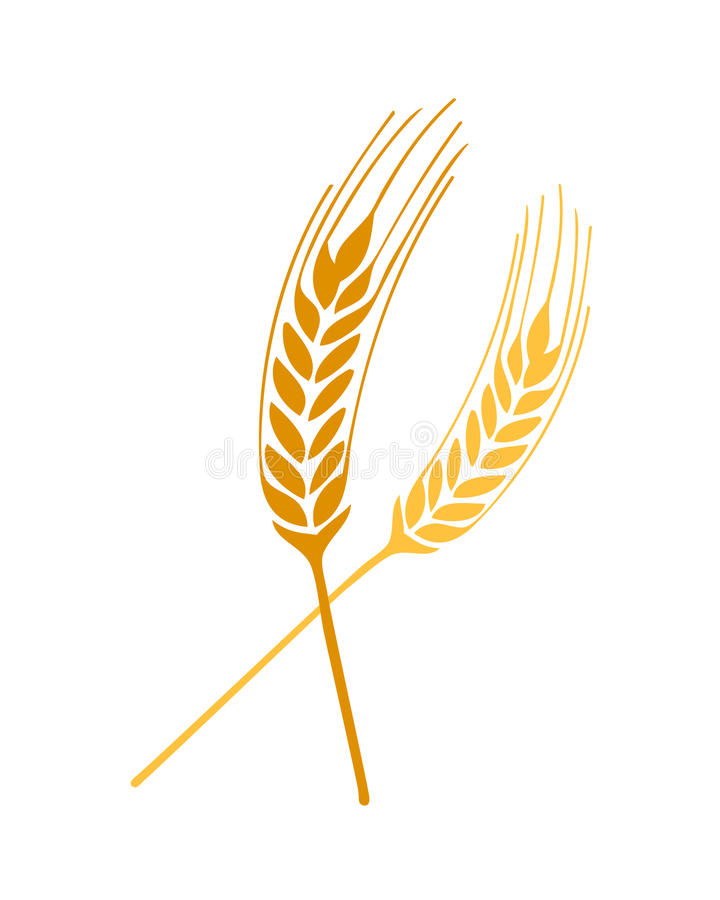 Wheat springs vector. Vector illustration of dried out wheat springs