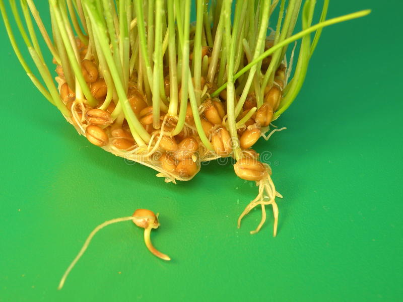 Download Wheat sprout stock image. Image of root, natural, sprout - 31880527