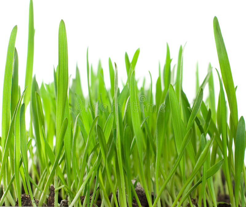 Wheat sprouts stock image