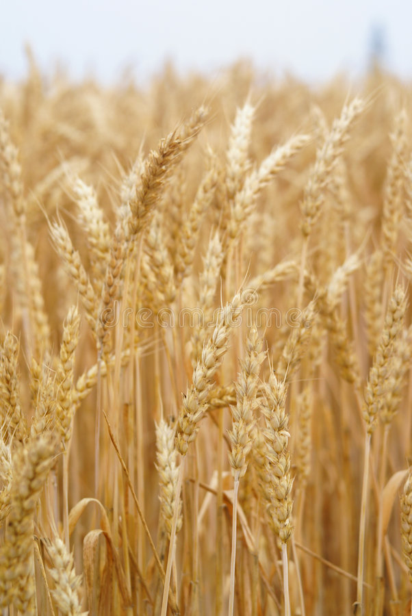 Wheat stalk. Photo of a wheat talk in gold color ready for harvest royalty free stock photos