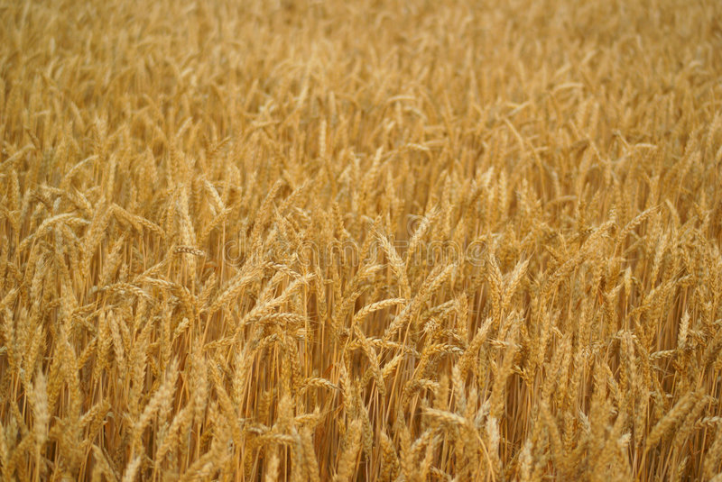 Wheat stalk. Photo of a wheat talk in gold color ready for harvest stock photography