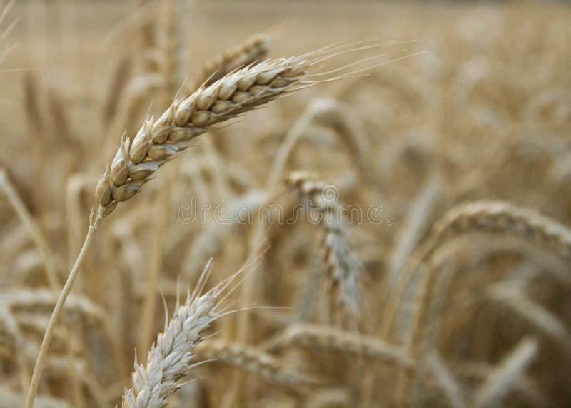 Wheat stalk royalty free stock photos