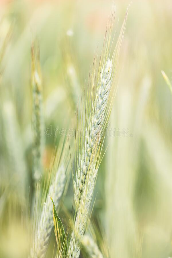 Wheat stalk in detail stock photography