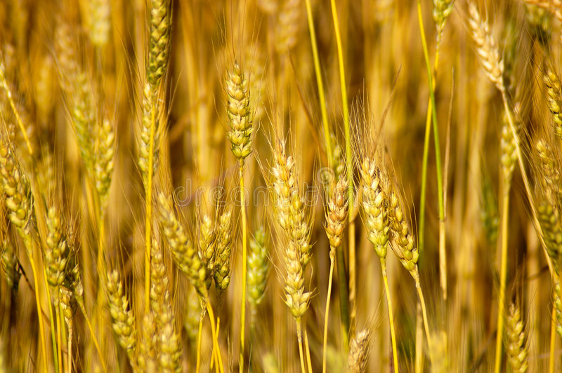 Download Wheat Stalks Royalty Free Stock Images - Image: 142159