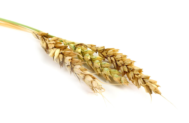 Wheat Stalks stock photography