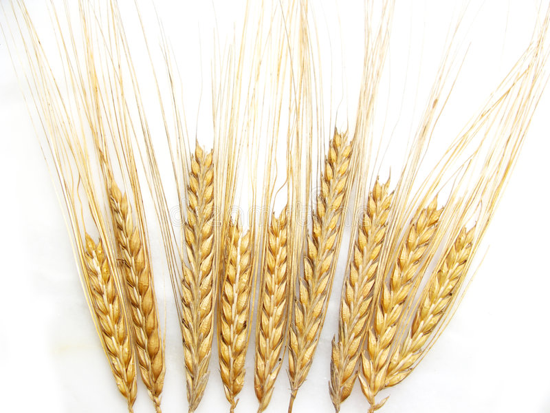 Wheat stalks royalty free stock image