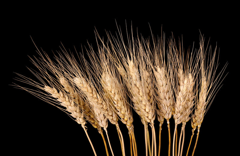 Download Wheat Stalks Isolated stock image. Image of agriculture - 20143579