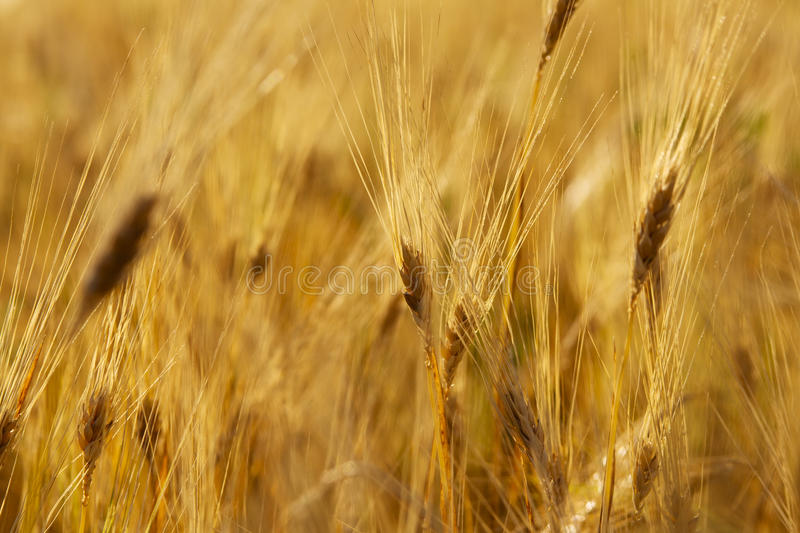 Wheat stem royalty free stock images
