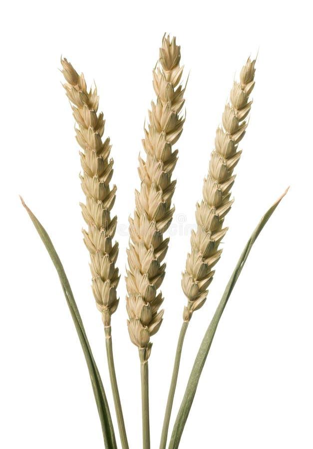 Free Wheat Stems Stock Image - 14822631