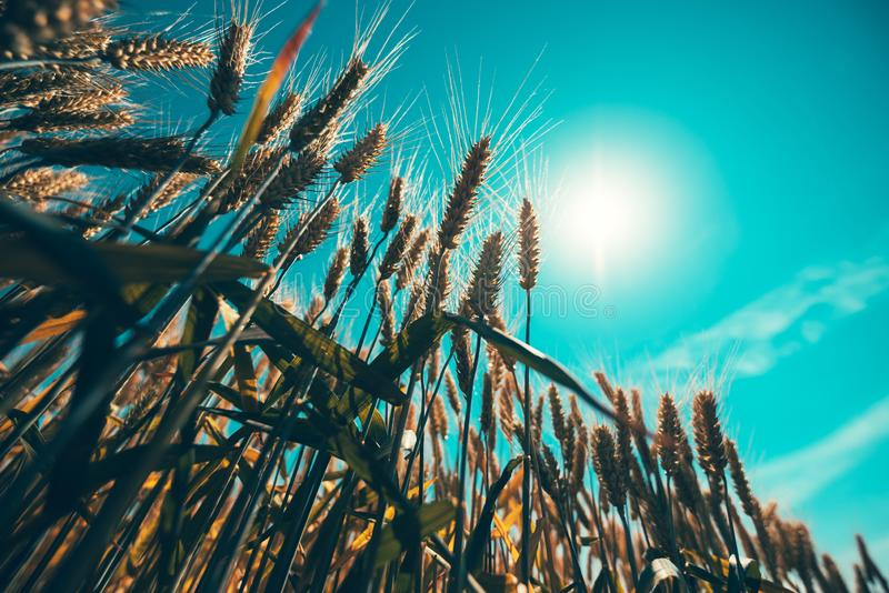 Wheat straws rising to the sun. And growing high up, selective focus stock photography