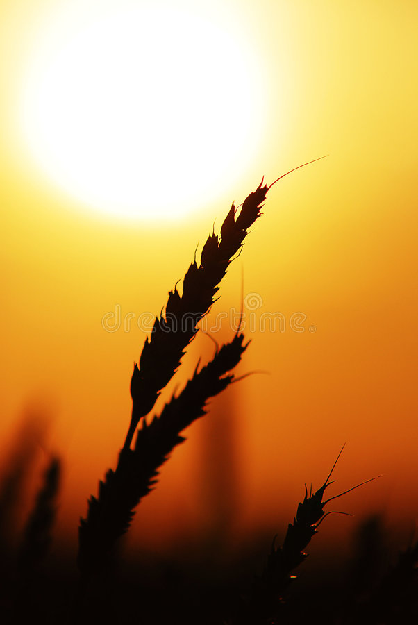 Wheat at sunset 02. Close up shot of wheat at silhouetted at sunset royalty free stock image