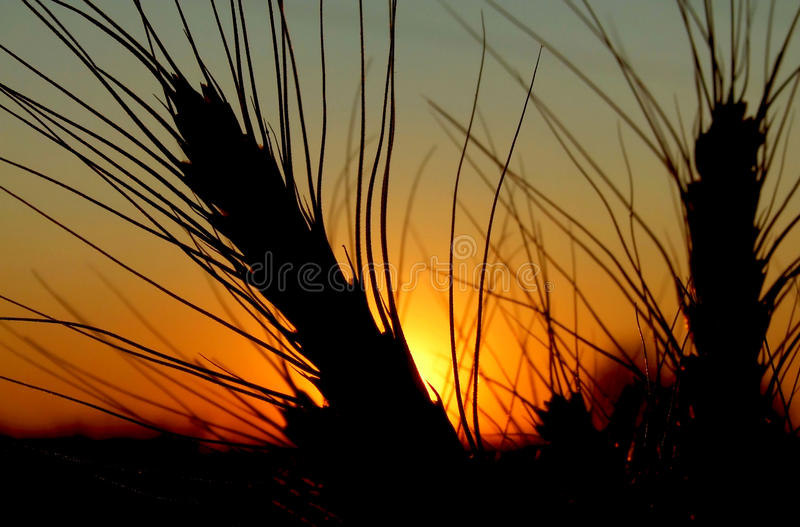 Wheat at sunset royalty free stock photo