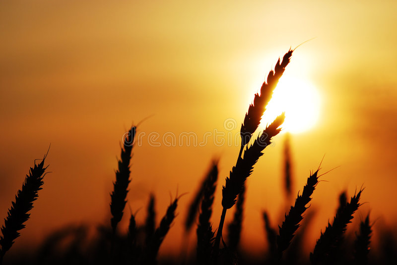 Wheat at sunset royalty free stock images