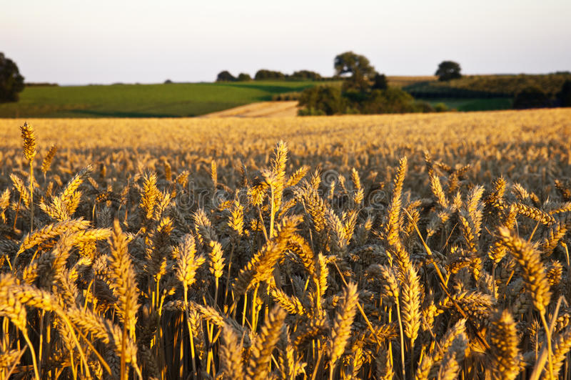 Wheat.Sunset bonito fotografia de stock