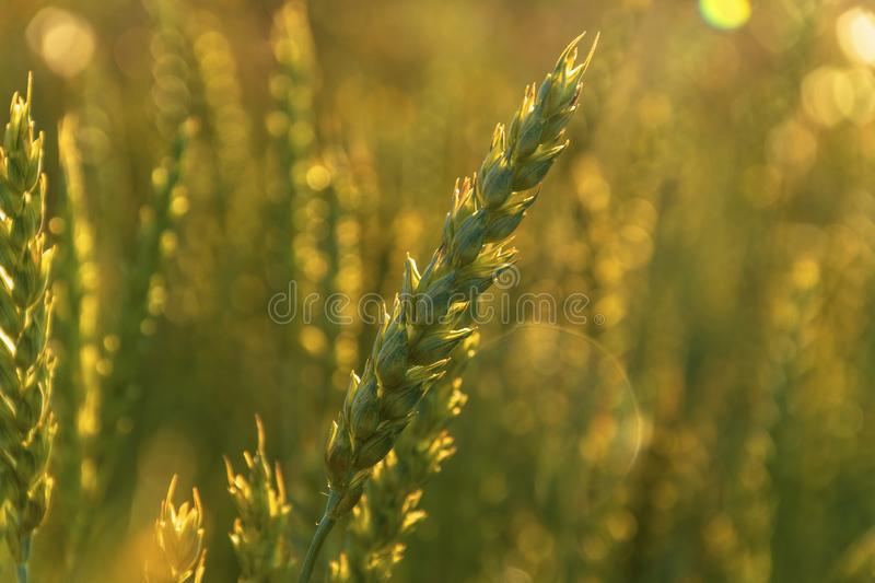Wheat in the sunset. Ears of wheat in the golden rays of the sun, which creates a beautiful bokeh royalty free stock photography