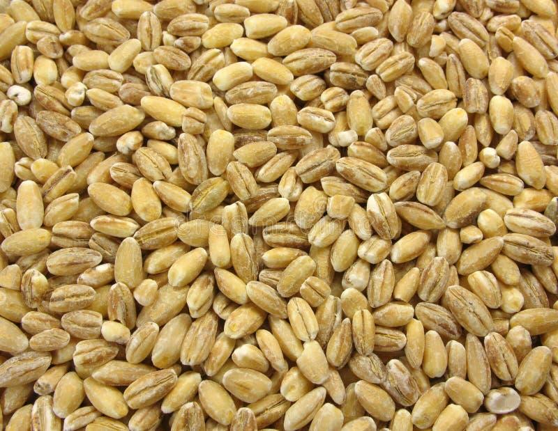 Wheat texture stock photo