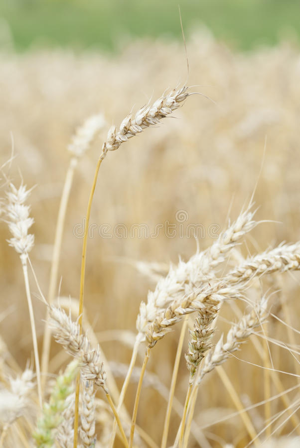Wheat (Triticum) Crop Ready For Harvest. stock photo
