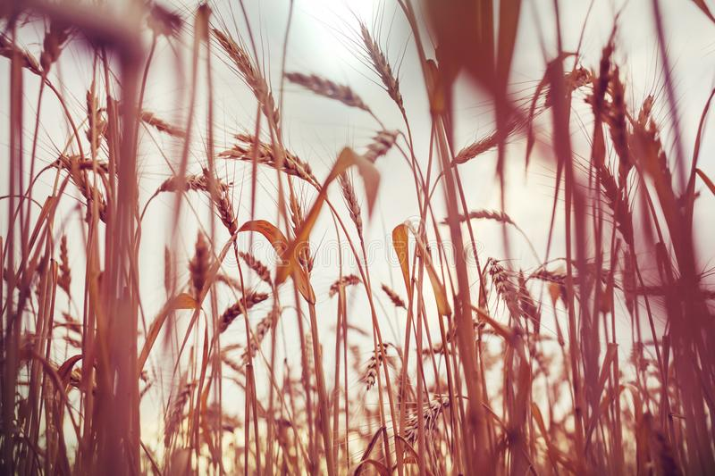 Wheat. Field, close up shot royalty free stock photography