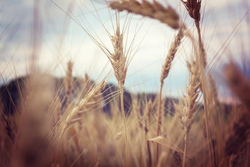 Wheat. Field, close up shot stock image