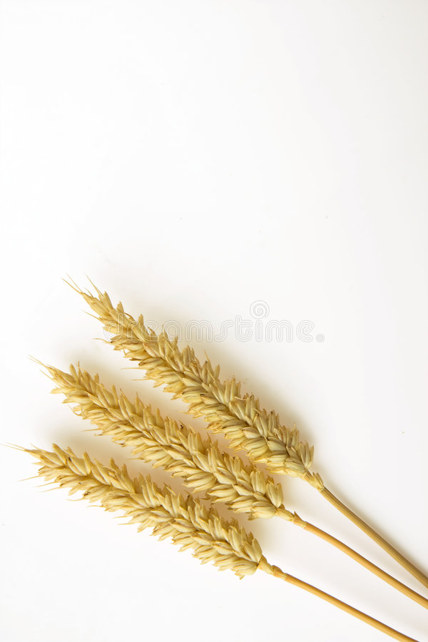 Download Wheat on white background stock photo. Image of autumn - 8600168