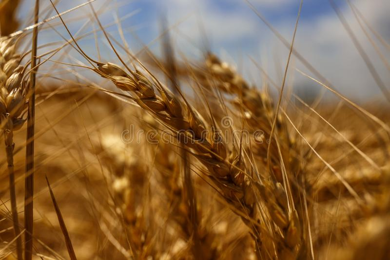 Wheat yarn with the richness of the earth. royalty free stock photos