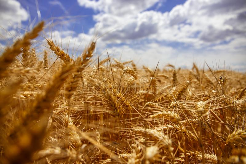 Wheat yarn with the richness of the earth. royalty free stock photography