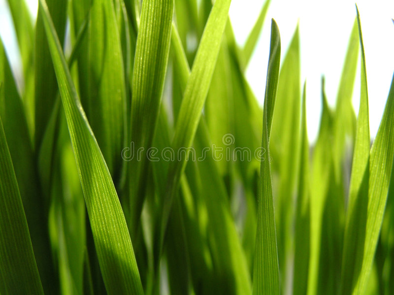 wheat1 obrazy stock