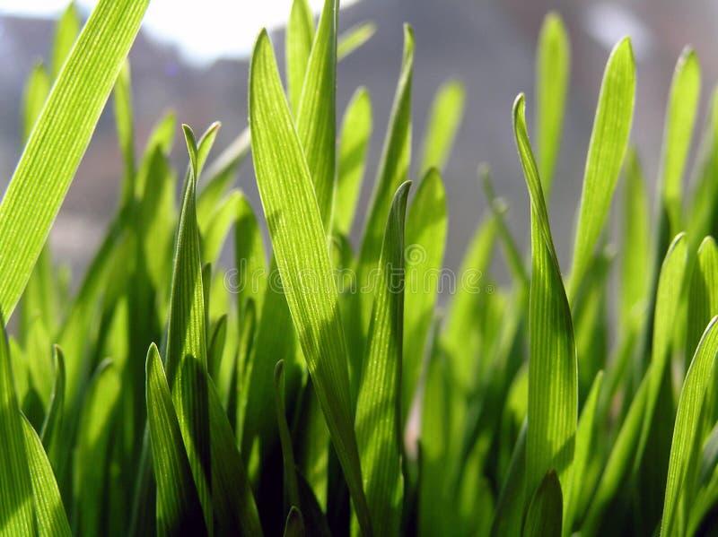 wheat2 obraz stock