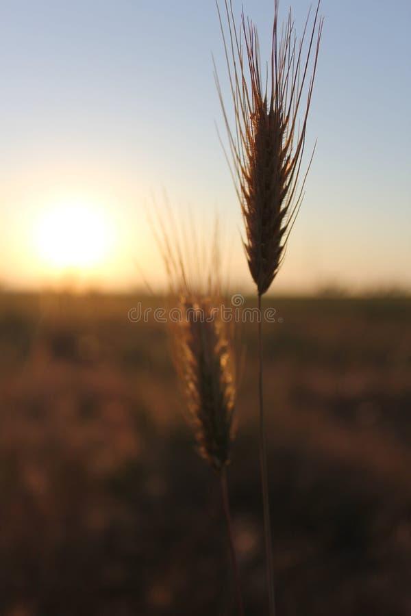 Wheatear fotografia stock libera da diritti