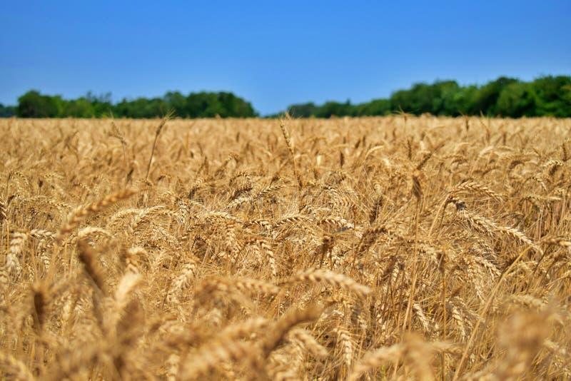 Wheatear in de zomer op een gebied van tarwe vóór oogst 4 royalty-vrije stock afbeelding
