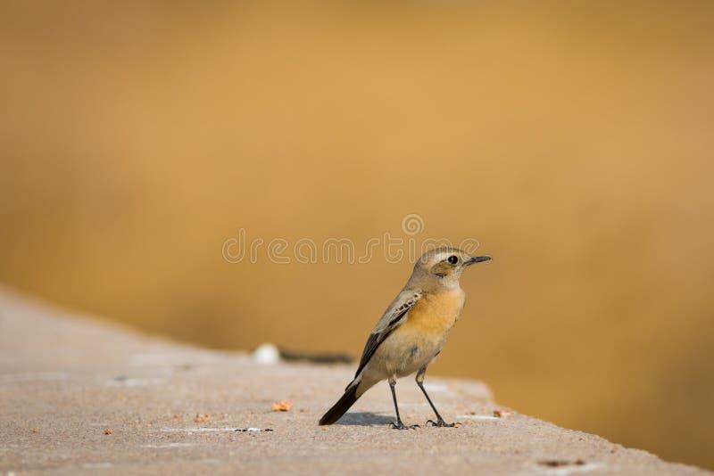 Wheatear do deserto ou de deserti do Oenanthe close up fotos de stock royalty free