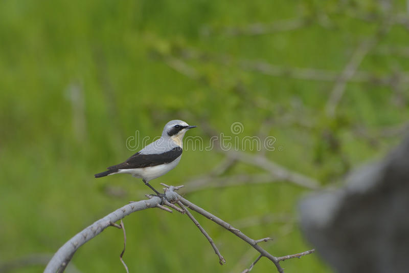 Wheatear nordique, oenanthe d'Oenanthe image stock