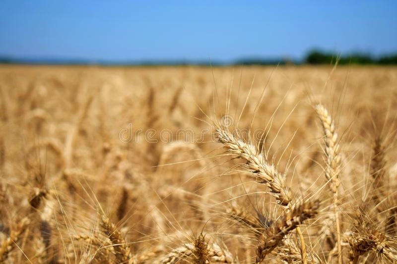 Wheatear in the summertime on a field of wheat before harvest stock photos