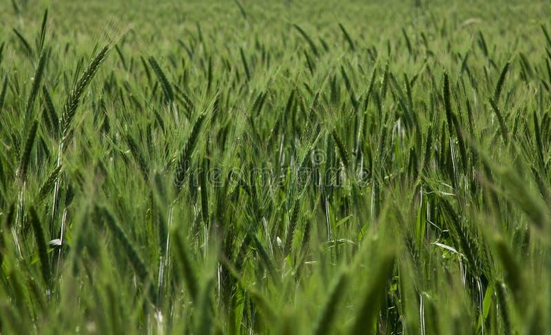 wheaten fält royaltyfria foton
