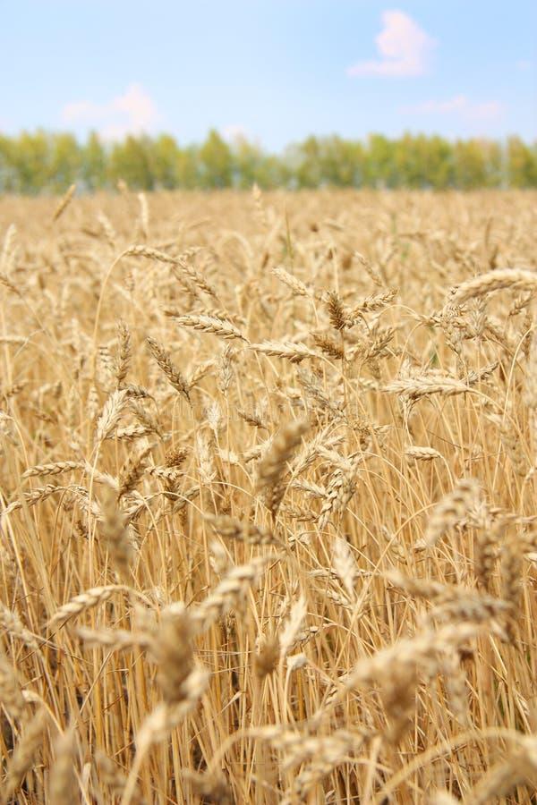 Wheaten gebied royalty-vrije stock afbeeldingen