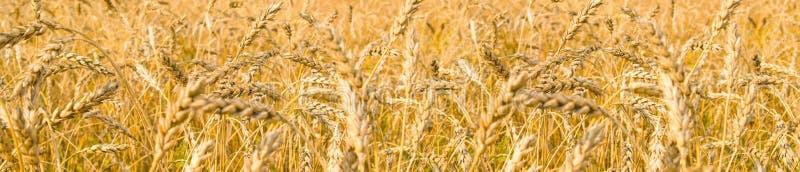 Wheaten gebied gerijpte oren stock afbeelding
