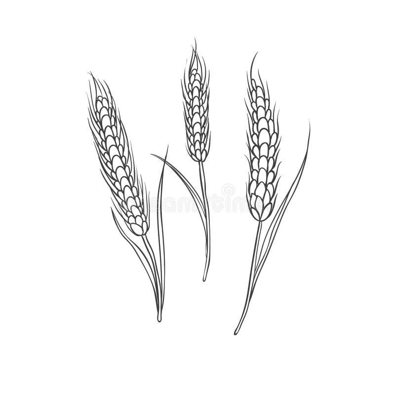 Wheaten kolca zboża uprawa Czarna wektorowa ręka rysująca nakreślenie ilustracja odizolowywająca na białym tle ilustracja wektor