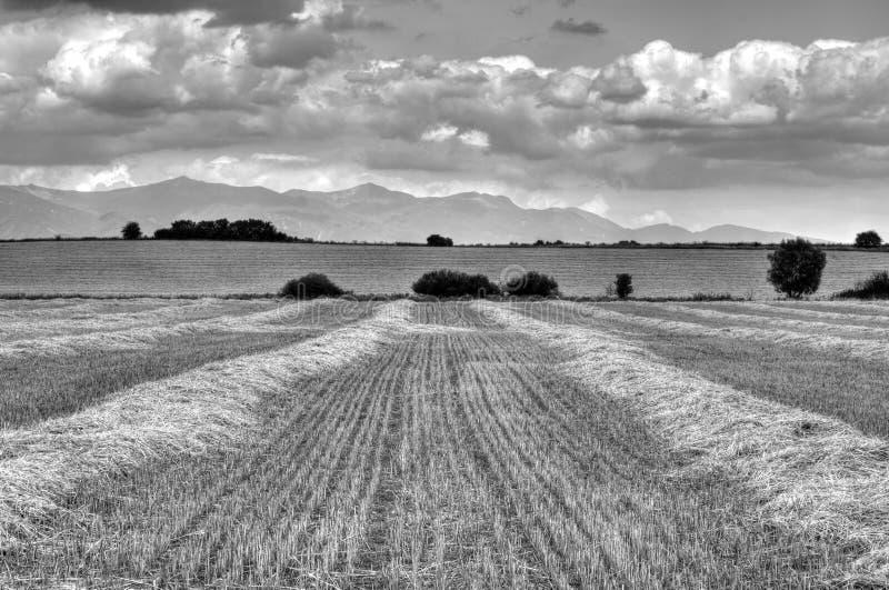 Wheaten pole obrazy royalty free