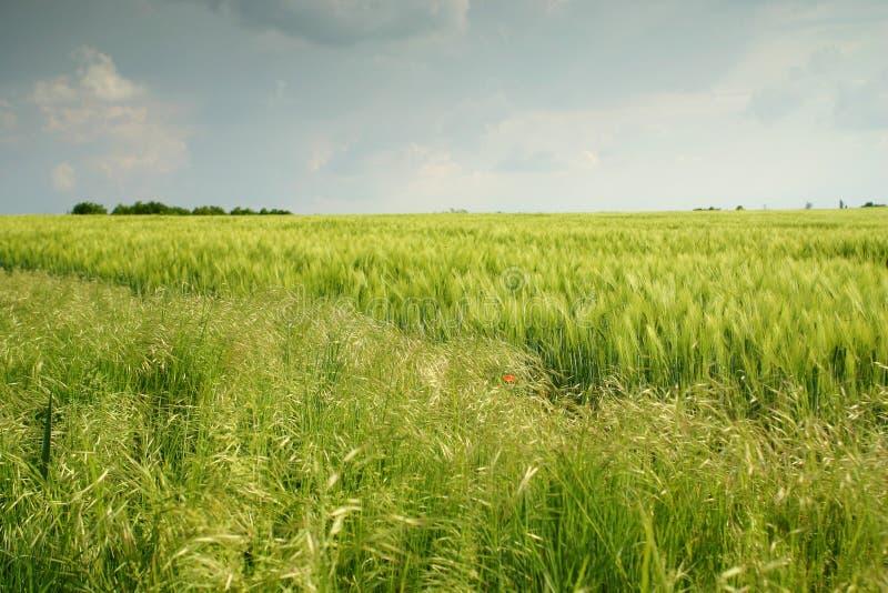 wheatfield ландшафта стоковое фото rf
