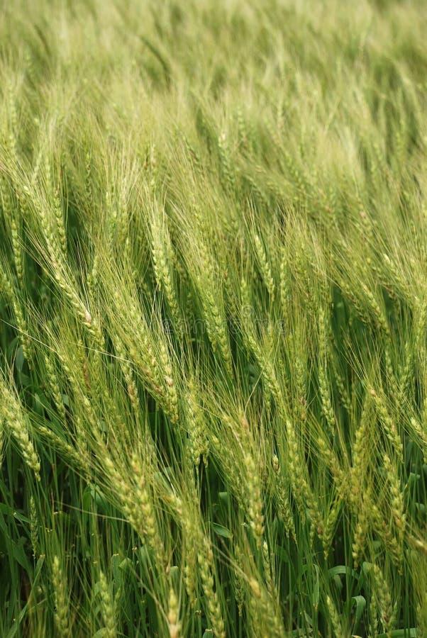 wheatfield стоковые изображения rf