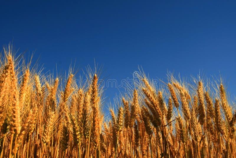 wheatfield arkivbilder