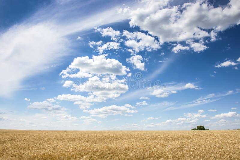 Wheatfield e cielo blu di estate fotografie stock libere da diritti