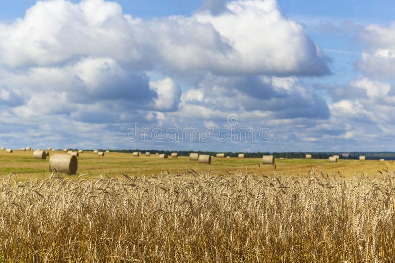 Wheatfield and haystacks of wheat of yellow color during harvest royalty free stock photos