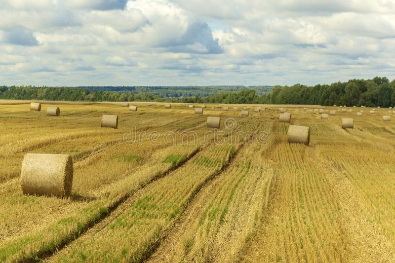 Wheatfield and haystacks of wheat of yellow color during harvest stock photos