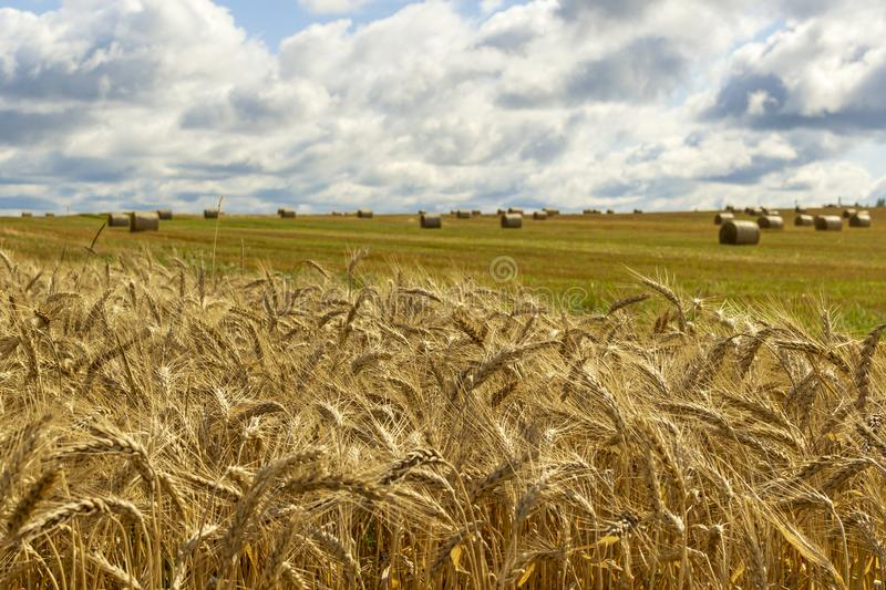 Wheatfield and haystacks of wheat of yellow color during harvest stock photo