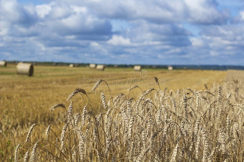 Wheatfield and haystacks of wheat of yellow color during harvest royalty free stock photo