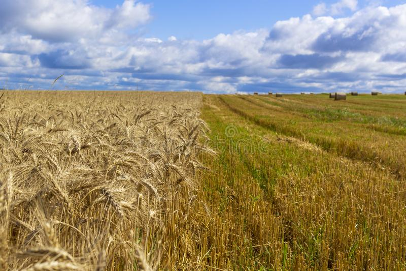 Wheatfield and haystacks of wheat of yellow color during harvest royalty free stock image