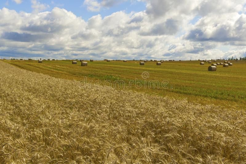 Wheatfield and haystacks of wheat of yellow color during harvest royalty free stock images