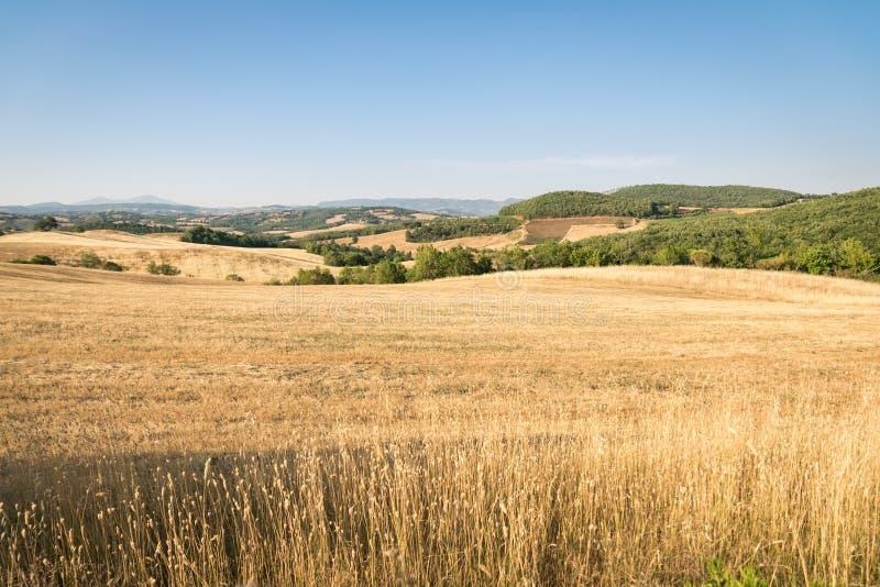 Wheatfield wśród wzgórzy Tuscany w Włochy zdjęcia stock