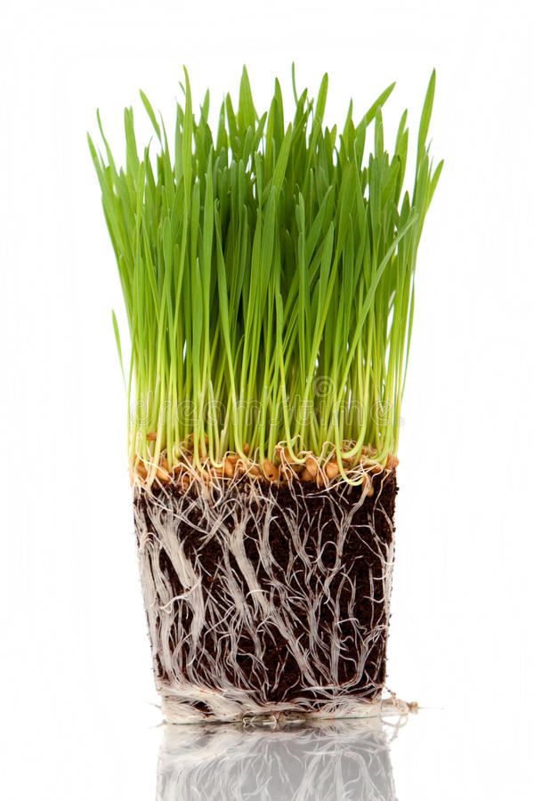 Wheatgrass. Green fresh wheatgrass on white background royalty free stock image